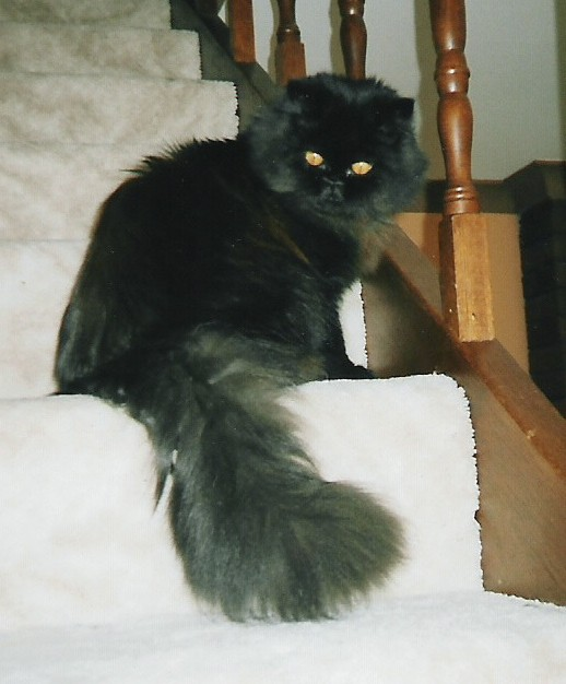 Pure Bred Black Persian to